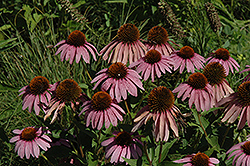 Purple Coneflower (Echinacea purpurea) at Culver's Garden Center