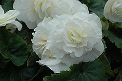 Nonstop® White Begonia (Begonia 'Nonstop White') at Culver's Garden Center