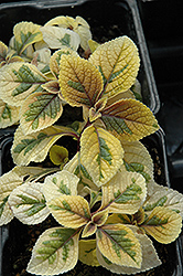 Troy's Gold Swedish Ivy (Plectranthus 'Troy's Gold') at Culver's Garden Center