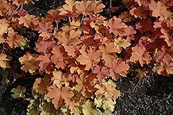 Caramel Coral Bells (Heuchera 'Caramel') at Culver's Garden Center