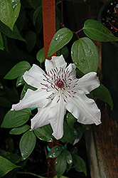 Eye Of The Storm™ Clematis (Clematis 'Vancouver Fragrant Star') at Culver's Garden Center