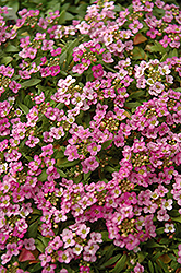 Easter Bonnet Deep Pink Alyssum (Lobularia maritima 'Easter Bonnet Deep Pink') at Culver's Garden Center
