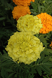 Taishan Yellow Marigold (Tagetes erecta 'Taishan Yellow') at Culver's Garden Center