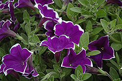 Rhythm And Blues Petunia (Petunia 'Rhythm And Blues') at Culver's Garden Center