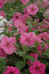 Supertunia Vista® Bubblegum Petunia (Petunia 'Supertunia Vista Bubblegum') at Culver's Garden Center