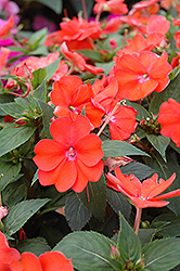SunPatiens® Vigorous Orange New Guinea Impatiens (Impatiens 'SunPatiens Vigorous Orange') at Culver's Garden Center