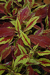 Pineapple Coleus (Solenostemon scutellarioides 'Pineapple') at Culver's Garden Center