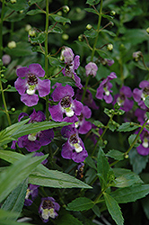 Archangel™ Purple Angelonia (Angelonia angustifolia 'Archangel Purple') at Culver's Garden Center