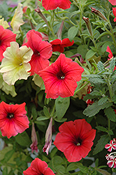 Glow Forest Fire Petunia (Petunia 'Glow Forest Fire') at Culver's Garden Center