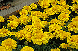 Janie Bright Yellow Marigold (Tagetes patula 'Janie Bright Yellow') at Culver's Garden Center