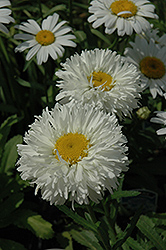 Laspider Shasta Daisy (Leucanthemum x superbum 'Laspider') at Culver's Garden Center