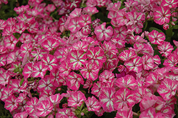Grammy Pink and White Annual Phlox (Phlox 'Grammy Pink and White') at Culver's Garden Center
