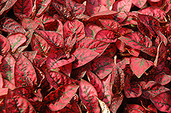 Splash Select Red Polka Dot Plant (Hypoestes phyllostachya 'Splash Select Red') at Culver's Garden Center