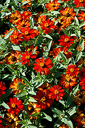Zahara® Fire Zinnia (Zinnia 'Zahara Fire') at Culver's Garden Center