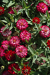Zahara® Double Cherry Zinnia (Zinnia 'Zahara Double Cherry') at Culver's Garden Center