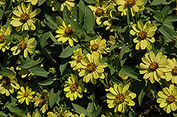 Zahara® Yellow Zinnia (Zinnia 'Zahara Yellow') at Culver's Garden Center