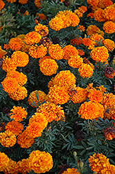 Taishan Orange Marigold (Tagetes erecta 'Taishan Orange') at Culver's Garden Center