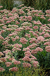 Autumn Joy Stonecrop (Sedum 'Autumn Joy') at Culver's Garden Center