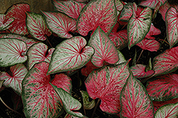 Carolyn Whorton Caladium (Caladium 'Carolyn Whorton') at Culver's Garden Center
