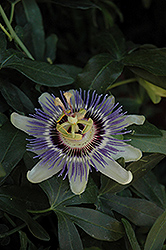 Incense Passion Flower (Passiflora 'Incense') at Culver's Garden Center