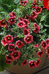 Superbells® Coralberry Punch Calibrachoa (Calibrachoa 'Superbells Coralberry Punch') at Culver's Garden Center