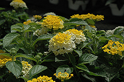 Bandana® Lemon Zest Lantana (Lantana camara 'Bandana Lemon Zest') at Culver's Garden Center