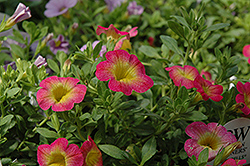 Superbells® Sweet Tart Calibrachoa (Calibrachoa 'Superbells Sweet Tart') at Culver's Garden Center