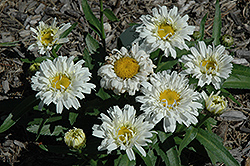 Freak! Shasta Daisy (Leucanthemum x superbum 'Freak!') at Culver's Garden Center