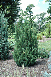 Blue Point Juniper (Juniperus chinensis 'Blue Point') at Culver's Garden Center