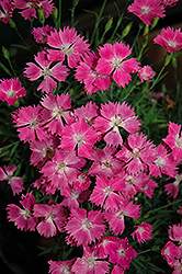 Kahori Pinks (Dianthus 'Kahori') at Culver's Garden Center