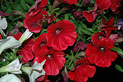 Good And Plenty™ Red Petunia (Petunia 'Good And Plenty Red') at Culver's Garden Center