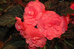Nonstop® Mocca Pink Shades Begonia (Begonia 'Nonstop Mocca Pink Shades') at Culver's Garden Center