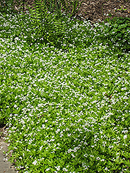Sweet Woodruff (Galium odoratum) at Culver's Garden Center