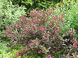 Midnight Wine® Weigela (Weigela florida 'Elvera') at Culver's Garden Center