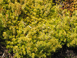 Angelina Stonecrop (Sedum rupestre 'Angelina') at Culver's Garden Center