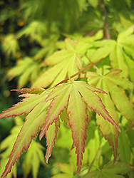Orange Dream Japanese Maple (Acer palmatum 'Orange Dream') at Culver's Garden Center