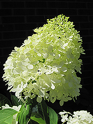 Limelight Hydrangea (Hydrangea paniculata 'Limelight') at Culver's Garden Center
