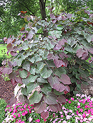 Forest Pansy Redbud (Cercis canadensis 'Forest Pansy') at Culver's Garden Center