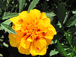 Safari Yellow Fire Marigold (Tagetes patula 'Safari Yellow Fire') at Culver's Garden Center