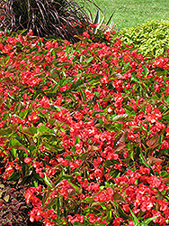 Dragon Wing Red Begonia (Begonia 'Dragon Wing Red') at Culver's Garden Center