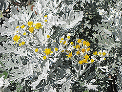 Silver Dust Dusty Miller (Senecio cineraria 'Silver Dust') at Culver's Garden Center