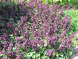 Vista™ Purple Sage (Salvia splendens 'PAS3292') at Culver's Garden Center