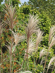 Variegated Silver Grass (Miscanthus sinensis 'Variegatus') at Culver's Garden Center