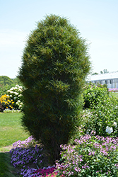 Fine Line® Buckthorn (Rhamnus frangula 'Ron Williams') at Culver's Garden Center