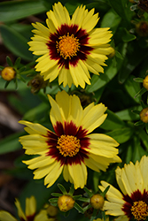 UpTick™ Yellow and Red Tickseed (Coreopsis 'Baluptowed') at Culver's Garden Center