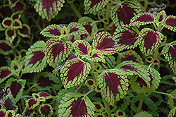 Tell Tale Heart Coleus (Solenostemon scutellarioides 'Tell Tale Heart') at Culver's Garden Center