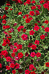 MiniFamous® Double Red Calibrachoa (Calibrachoa 'MiniFamous Double Red') at Culver's Garden Center