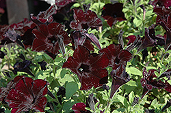 Crazytunia® Black Mamba Petunia (Petunia 'Crazytunia Black Mamba') at Culver's Garden Center