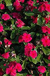 Titan™ Punch Vinca (Catharanthus roseus 'Titan Punch') at Culver's Garden Center