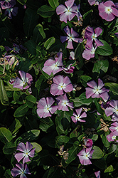 Titan™ Lavender Blue Halo Vinca (Catharanthus roseus 'Titan Lavender Blue Halo') at Culver's Garden Center